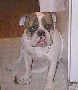 Spike the Bulldog is sitting against a wall and he is looking forward. He has a line of drool coming out of his mouth.