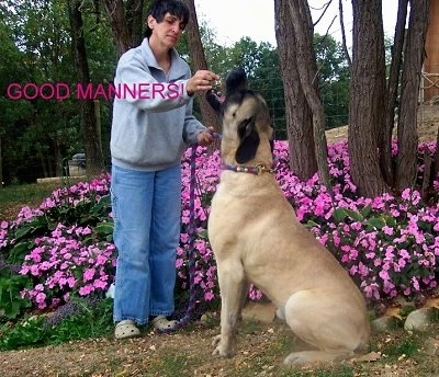 Gideon the American Mastiff being fed by a person. They are in front of a bed of flowers