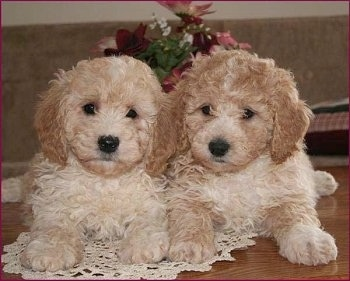 Sam and Riley the Bichon Poodle Puppies laying on a white lace doily on a hardwood floor with flowers behind them