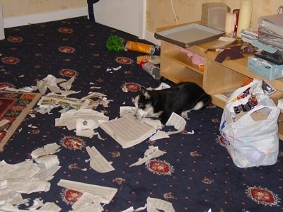 Loui the Border Collie Puppy is laying down and Destroying the Telephone book on a carpet and leaving newspapers everywhere