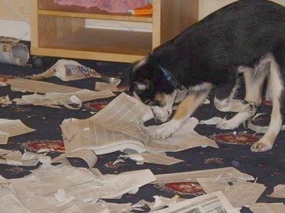 Loui the Border Collie Puppy is actively Destroying a Telephone book on a carpet
