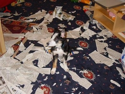 Loui the Border Collie Puppy is sitting on a carpet and looking to the left. There is a newspaper torn apart all over the carpet