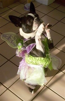PJ the Boston Terrier is wearing a dress and fairy wings standing on her hind legs on a tiled floor