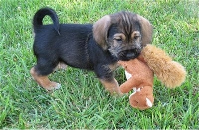 The right side of a black with tan Bowser puppy that has a plush squirrel toy in its mouth.