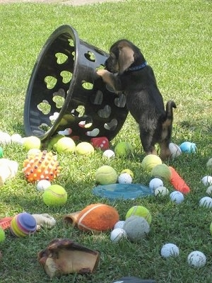 The back left side of a black with tan Bowser puppy that is pushing over a basket. There is a bunch of ball toys scattered all over the grass.