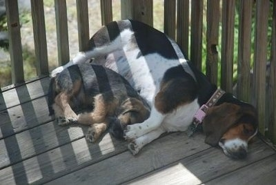 The front right side of a Bowzer Puppy and a Basset Hound that are sleeping together on a wooden deck.