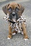 Bruno the Boxer as a Puppy wearing Leopard print Jacket sitting on a blacktop surface