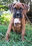 Bruno the Boxer as a Puppy is sitting outside in grass