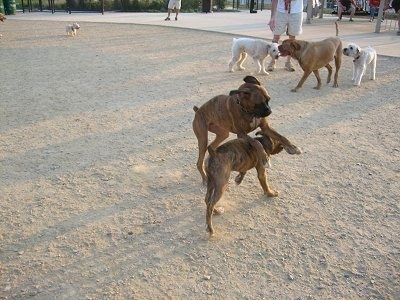 Bruno playing with Jackson the 6 Month Old Brindle Boxer with other dogs in the background