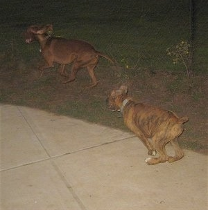 Bruno chasing the Vizsla