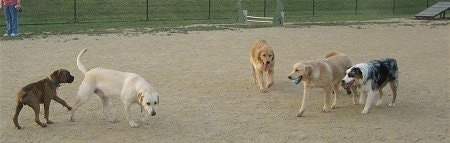 Dogs having fun at the dog park. One dog has a ball in its mouth