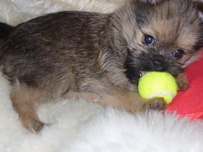 Close Up - The right side of a black and brown Brusselranian puppy that is laying across a furry rug with a tennis ball in its mouth.