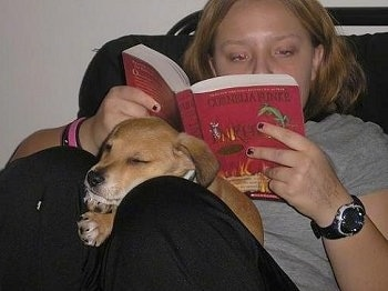 A tan Carolina Dog/Dingo mix puppy is sleeping in between the legs of a lady that is reading a red book.