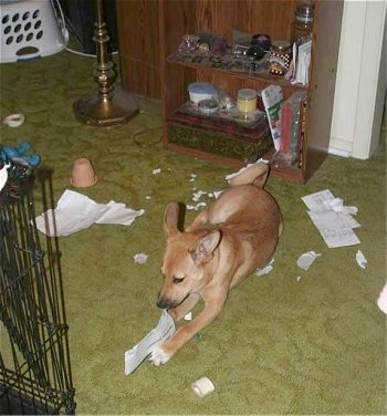 Basenji mix puppy is laying on a olive green carpet and chewing on paper. There is paper in between its front paws and scattered behind him