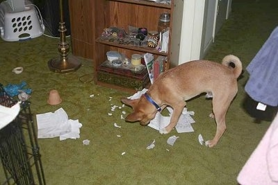 Basenji mix puppy is chewing on paper and leaving ripped paper everywhere in a living room