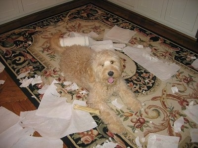 Tanner the Goldendoodle is laying on a rug with paper towels bitten and torn apart into pieces around him