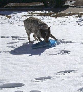 Zorro the Queensland Red Heeler is standing in snow getting the newspaper that is inside a blue plastic bag