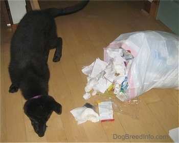 Shadow the Shiloh Shepherd puppy is standing next to a knocked over trash bag with trash spilling out