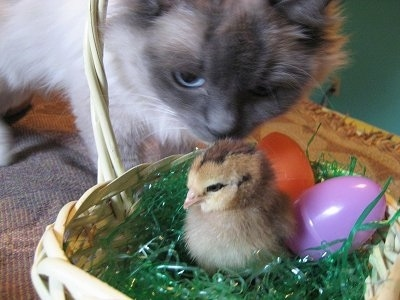 A blue-eyed, white with grey cat is smelling a chick inside a white wicker basket with two plastic eggs behind it. One egg is orange and the other is purple.