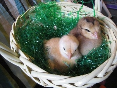 Two Baby Chicks are sitting in a white wicker basket on top of green plastic Easter grass.