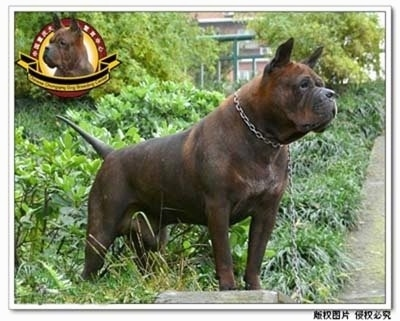 A Chinese Chongqing is standing on grass on a blcok and looking to the right. The Logo for the Chinese Chongqing Dog Breeding Center is overlayed on the photo