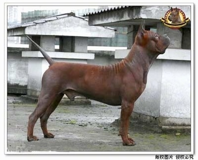 A brown Chinese Chongqing dog is standing on a rooftop and looking to the right. The Logo for the Chinese Chongqing Dog Breeding Center is overlayed on the photo