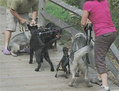 Five dogs meeting on a wooden bridge. A lady in pink is attempting to hold her dogs back and a guy in green is attempting to hold his dogs back.
