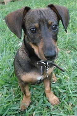 Rowdy Rooney the Doxie-Pin is sitting outside in a grassy yard