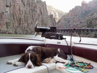 Bently the English Springer Spaniel is laying on a boat deck. The Boat is going through a body of water in between mountains