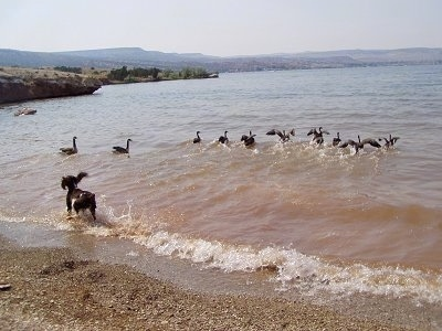 Bently the English Springer Spaniel is chasing a line of Geese in to a body of water