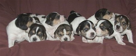 A litter of Jack-A-Bee puppies are all lined up laying on a brown couch
