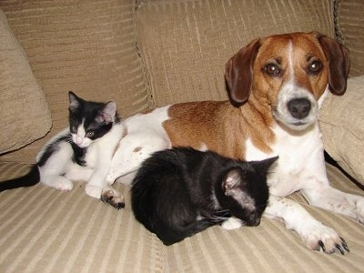 Two cats are laying on a tan couch next to a brown with white Jack-A-Bee dog.