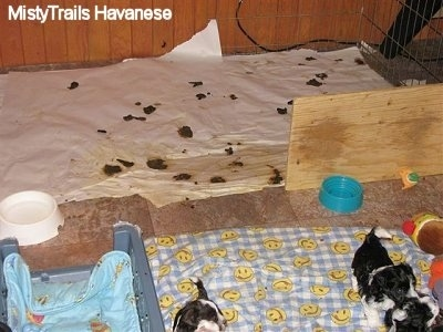 A whelping box with puppies towards the clean front and a board making a partial wall to separate a room for the back toilet area where there is poop and pee all over.