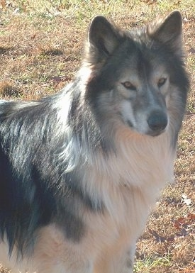 Head and upper body shot - A long-haired, perk-eared, grey with tan and white Native American Indian Dog is standing in grass and it is looking forward. Its eyes look like wolf eyes.