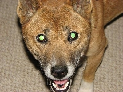 Close up head shot from above looking down at the dog - A happy looking, brown with black and white New Guinea Singing Dog is standing on a carpet and looking up. Its mouth is open. The dog's eyes are glowing green.