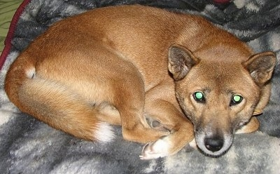 A brown with black and white New Guinea Singing Dog is curled up in a ball on a gray and white blanket. The dog's eyes are glowing green.