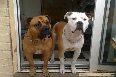 Two wide-chested, muscular, Old Anglican Bulldogges are standing in the doorway of a sliding door. Their front legs are outside and their back legs are on a black and white checkered floor. The first dog is tan with a black snout and a little bit of white on its chest and the second dog is white with tan and a little bit of black on its snout and ear.