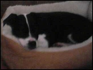 Side view - A black with white Old Anglican Bulldogge puppy is sleeping in a tan oval dog bed.