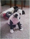 A little black with white Old Anglican Bulldogge puppy is sitting on a carpet and it is wearing a pink shirt. Its head is tilted to the right.