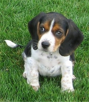 Front view - A drop-eared, tricolor black and tan with white Pocket Beagle puppy is sitting in grass looking to the left. Its head is slightly turned to the left.