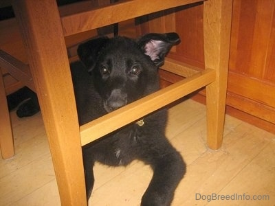 Shadow the Shiloh Shepherd puppy is laying under a chair next to a table