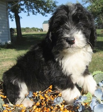 Close up front side view - A thick-coated, black with white Sheepadoodle puppy is sitting across grass and it is looking forward.