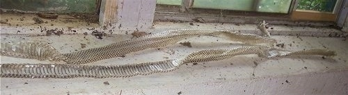 Close up - Two snake skins are on a windowsill in a basement.