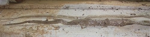 Two snake skins laying side by side on a floor.