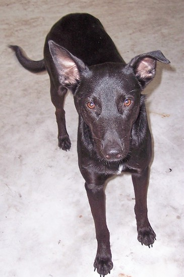 A black Xoloitzcuintli dog standing on concrete and it is looking up. Its right ear is folded over at the tip. It has a long tail, brown eyes and a black nose.