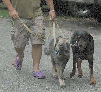 A person in violet crocs is leading Two dogs on a walk across a parking lot.