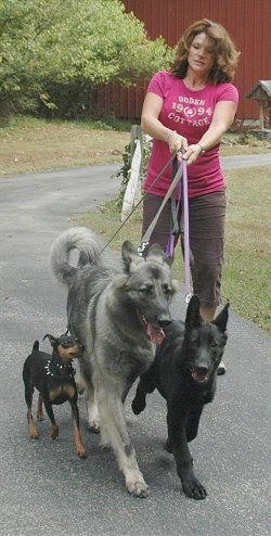 Lady being pulled by three dogs on a walk