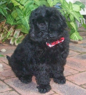 The front right side of a black Australian Labradoodle Puppy that is siiting across a brick walkway. It is looking down and to the left.