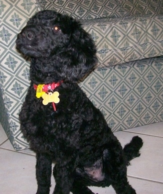 The front left side of a black Australian Labradoodle puppy that is sitting in front of a couch. It is looking up and to the left.
