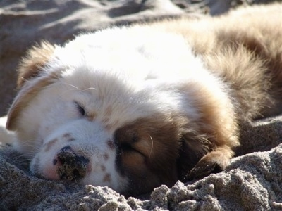 Close up - The front left side of a brown with white sleeping Australian Retriever puppy. It is laying in sand